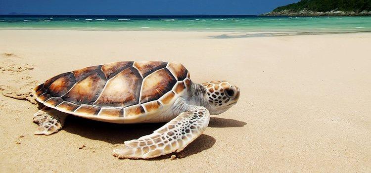 El nombre viene porque se hace pequeño escondiéndose como una tortuga en su caparazón